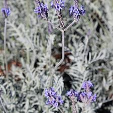 Lavandula buchii var. buchii 'Campo Silver' - Hybrid lavender