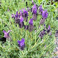 Lavandula stoechas 'Libelle Compact Blue' - Libelle Compact Blue Lavender