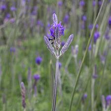 Lavandula pinnata - Lavender