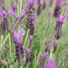 Lavandula stoechas 'Anouk' - Spanish lavender