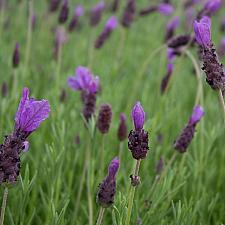 Lavandula stoechas 'Otto Quast' - Spanish lavender