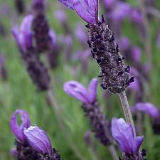 Lavandula stoechas 'Willow Vale' - Spanish lavender