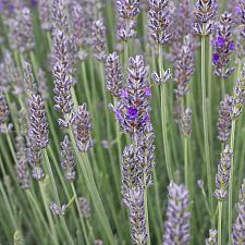 Lavandula x intermedia 'Provence' - Lavender