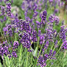 Lavandula angustifolia 'Big Time Blue' - English lavender