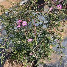 Leptospermum rotundifolium 'Manning's Choice' - Tea tree