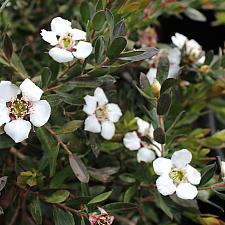 Leptospermum nitidum 'Flat Rock' - Shining tea tree