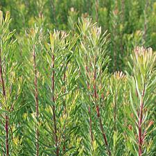 Leucadendron galpinii - Silver Cone Leucadendron