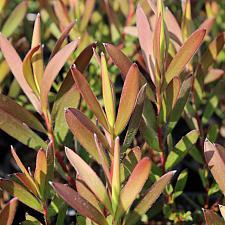 Leucadendron 'Silvan Red' - No common name