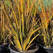 Libertia peregrinans - New Zealand iris