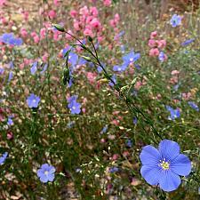 Linum lewisii - Blue flax