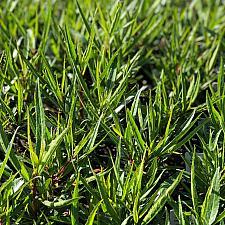 Lobelia laxiflora var. angustifolia - Lobelia