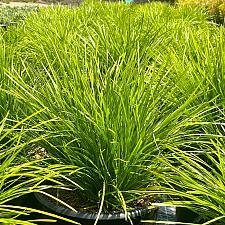 Lomandra confertifolia 'Shorty' - Mat rush