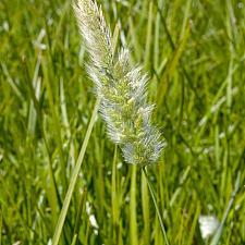 Lomandra longifolia 'Breeze' - Dwarf mat rush