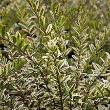Lonicera nitida 'Lemon Beauty' - Honeysuckle