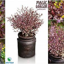 Lophomyrtus x ralphii 'Magic Dragon' - Ramarama