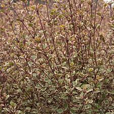 Lophomyrtus x ralphii 'Sundae' - Ramarama
