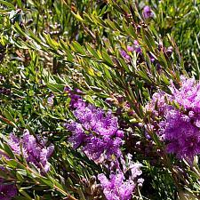 Melaleuca thymifolia - Thyme honey myrtle
