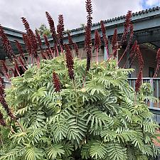 Melianthus major - Honey flower