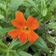 Mimulus 'Jelly Bean Orange' - Monkey flower