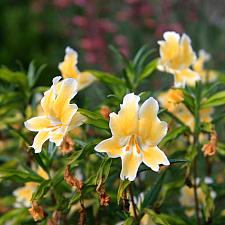 Mimulus 'Eleanor' - Monkey flower