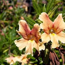 Mimulus 'Carnivale' - Monkey flower