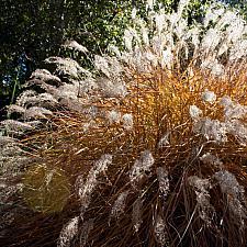 Miscanthus sinensis 'Adagio' - Eulalia grass