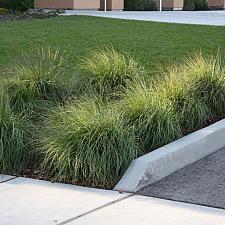 Muhlenbergia rigens - Deer grass, Basket grass