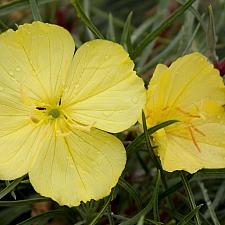 Oenothera fremontii 'Shimmer' - Sundrop