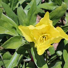 Oenothera 'Lemon Drop' - Evening primrose