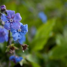 Omphalodes cappadocica - Navelseed