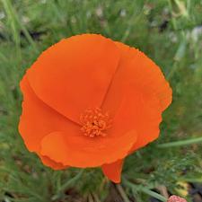 Eschscholzia californica 'Orange King' - California poppy