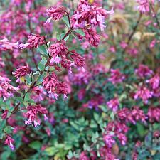 Origanum x hybridum 'Santa Cruz' - Oregano