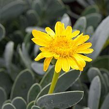 Othonna cheirifolia - Othonna
