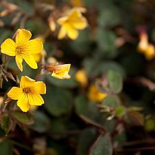 Oxalis vulcanicola - Sorrel