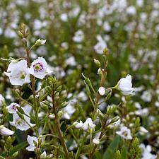 Parahebe linifolia - No common name