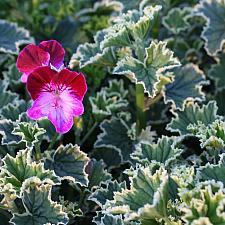 Pelargonium 'Oldbury Duet' - Geranium