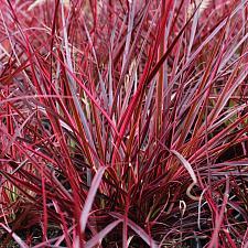 Pennisetum setaceum 'Fireworks' - Variegated purple fountain grass
