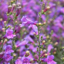 Penstemon heterophyllus 'Margarita BOP' - Foothill penstemon