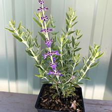 Perovskia atriplicifolia 'Rocketman' - Russian sage