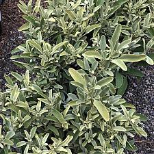 Phlomis monocephala - Jerusalem sage