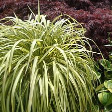 Phormium 'Blondie' - New Zealand flax