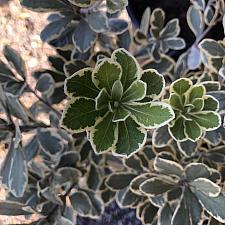 Pittosporum crassifolium 'Variegatum' - Variegated karo