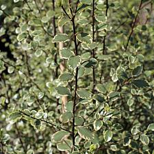 Pittosporum tenuifolium 'Silver Magic' - Tawhiwhi, Kohuhu