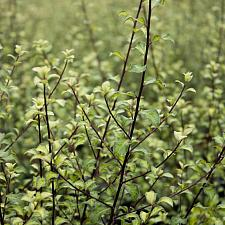 Pittosporum tenuifolium 'Harley Botanica' - Tawhiwhi, kohuhu