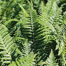 Polystichum munitum - Western sword fern
