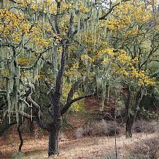 Quercus douglasii - Blue oak