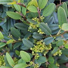 Rhamnus californica 'Mound San Bruno' - Coffeeberry