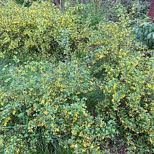 Ribes aureum var. gracillimum - Golden currant