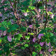 Ribes sanguineum var. glutinosum - Chaparral currant