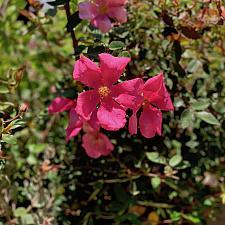 Rosa x odorata 'Mutabilis' - China rose